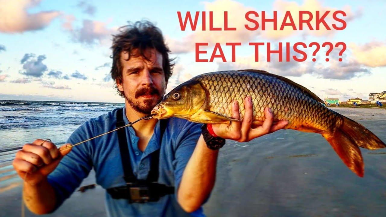 Will SHARKS Eat Carp??? - YouTube