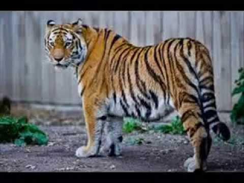 Caspian Tiger Extinction Timeline