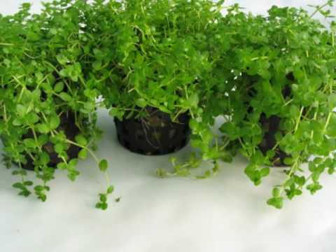 Micranthemum umbrosum - Carpet Aquarium Plant