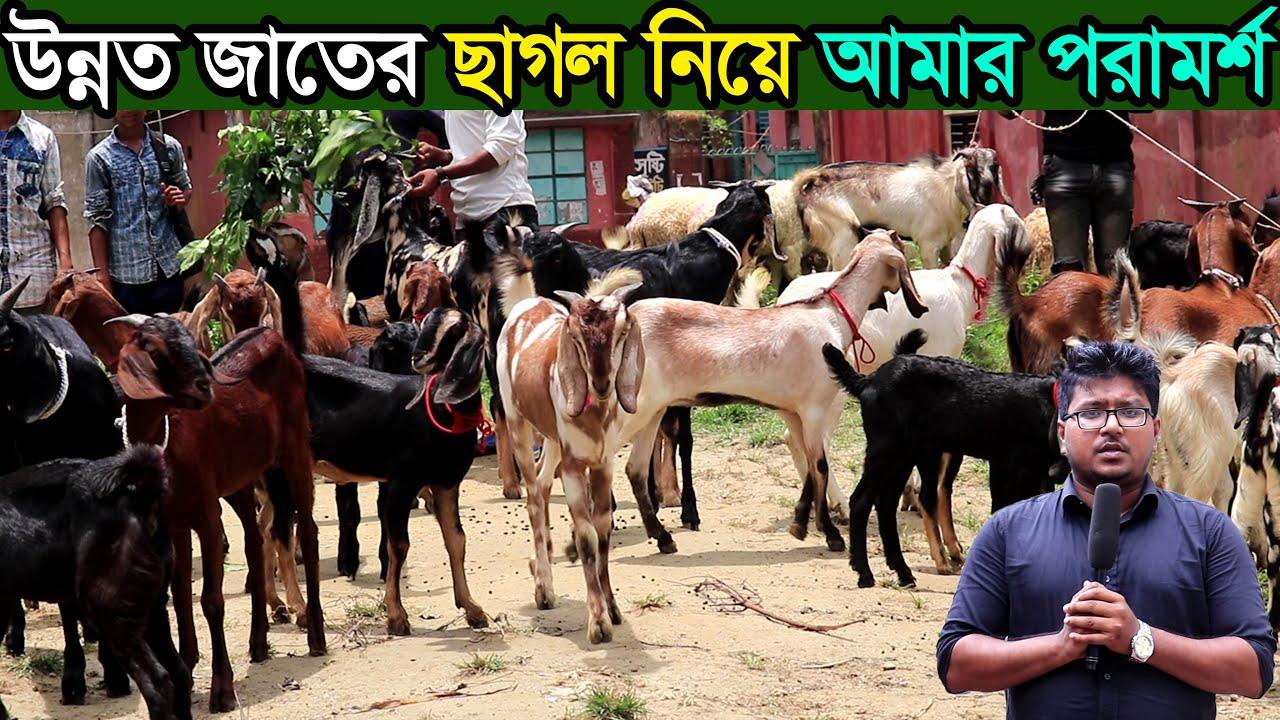 আমার কাছ থেকে জানুন উন্নত জাতের ছাগল পালন কত টা লাভজনক । ঢাকা থেকে ছাগল কিনুন goat farming