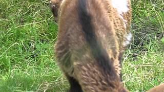 Pygmy goats in the Dutch polder☺