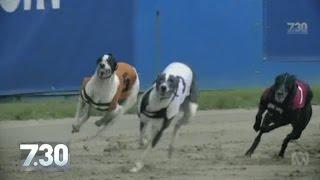Australian greyhounds sentenced to slow death in Asian market