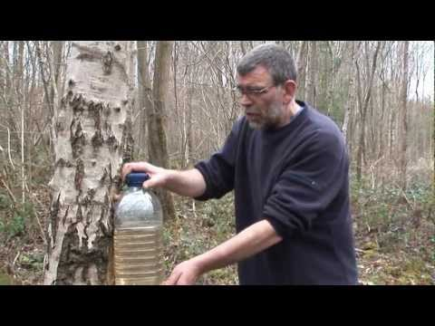 how to tap a birch tree - tried and tested method