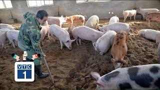 """Cà Mau: Quyết không tái đàn sau """"bão"""" tả lợn"""