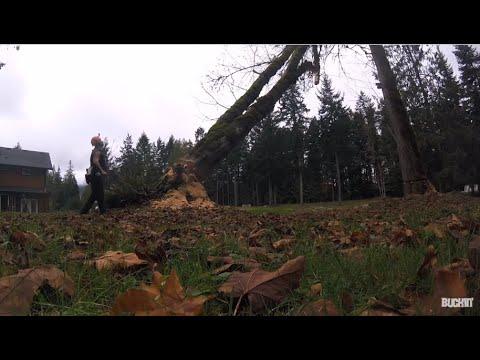 FALLING BIG DANGEROUS MAPLE TREES
