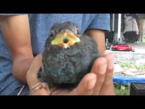 Tengkek buto/dollarbird (Eurystomus orientalis) AK-Garut-West Java-Indonesia
