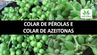 Suculentas – Aprenda a Cultivar Colar de Pérolas e Colar de Azeitonas