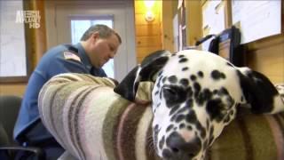 Порода собак - Далматинец