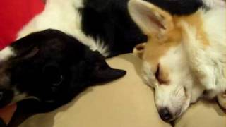 Woody Border Collie With Scrumpy Corgi