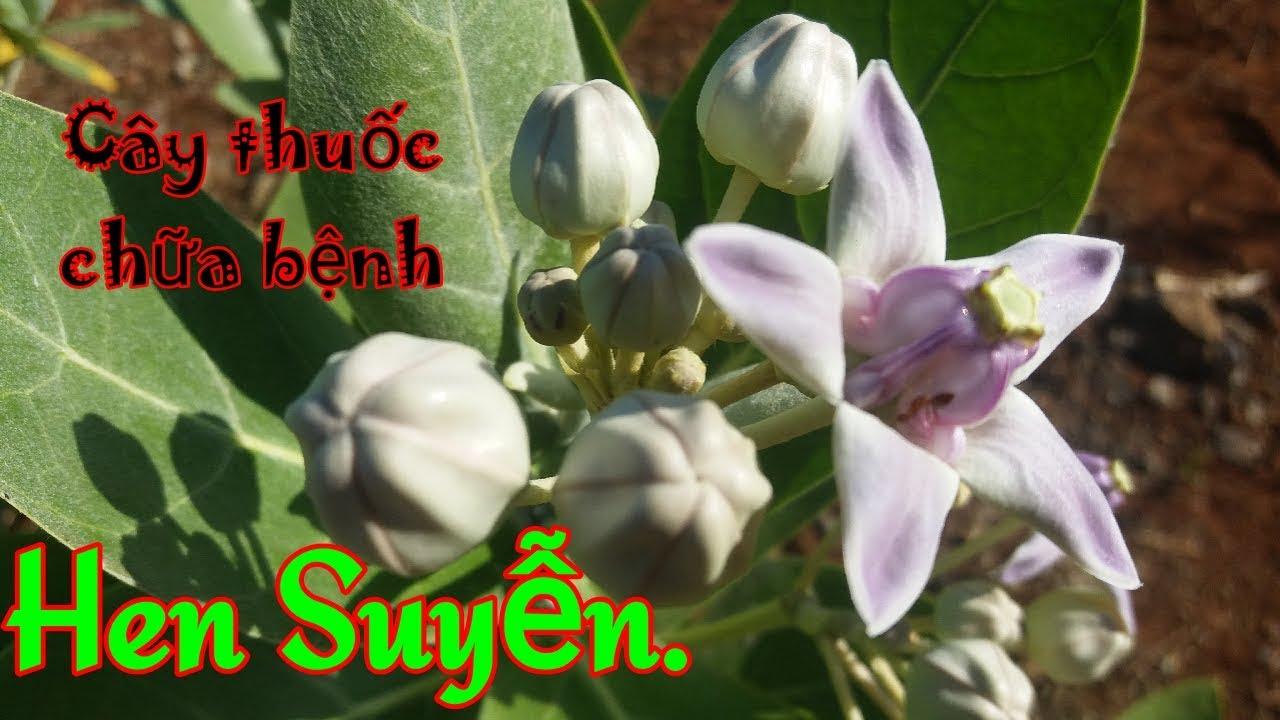 Công dụng cây lá hen | cây lá hen | cây bồng bồng | cây thuốc trị bệnh hen suyễn | Kptn79S