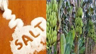 Video Manfaat Garam Dapur Untuk Tanaman Pisang, Agar Cepat Berbuah Besar download MP3, 3GP, MP4, WEBM, AVI, FLV September 2018