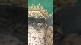 Трехнедельные котята горланят
