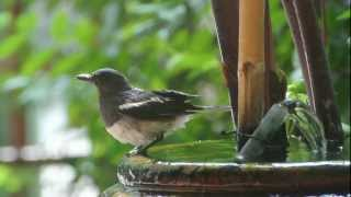 Oriental Magpie Robin by Nikon V1