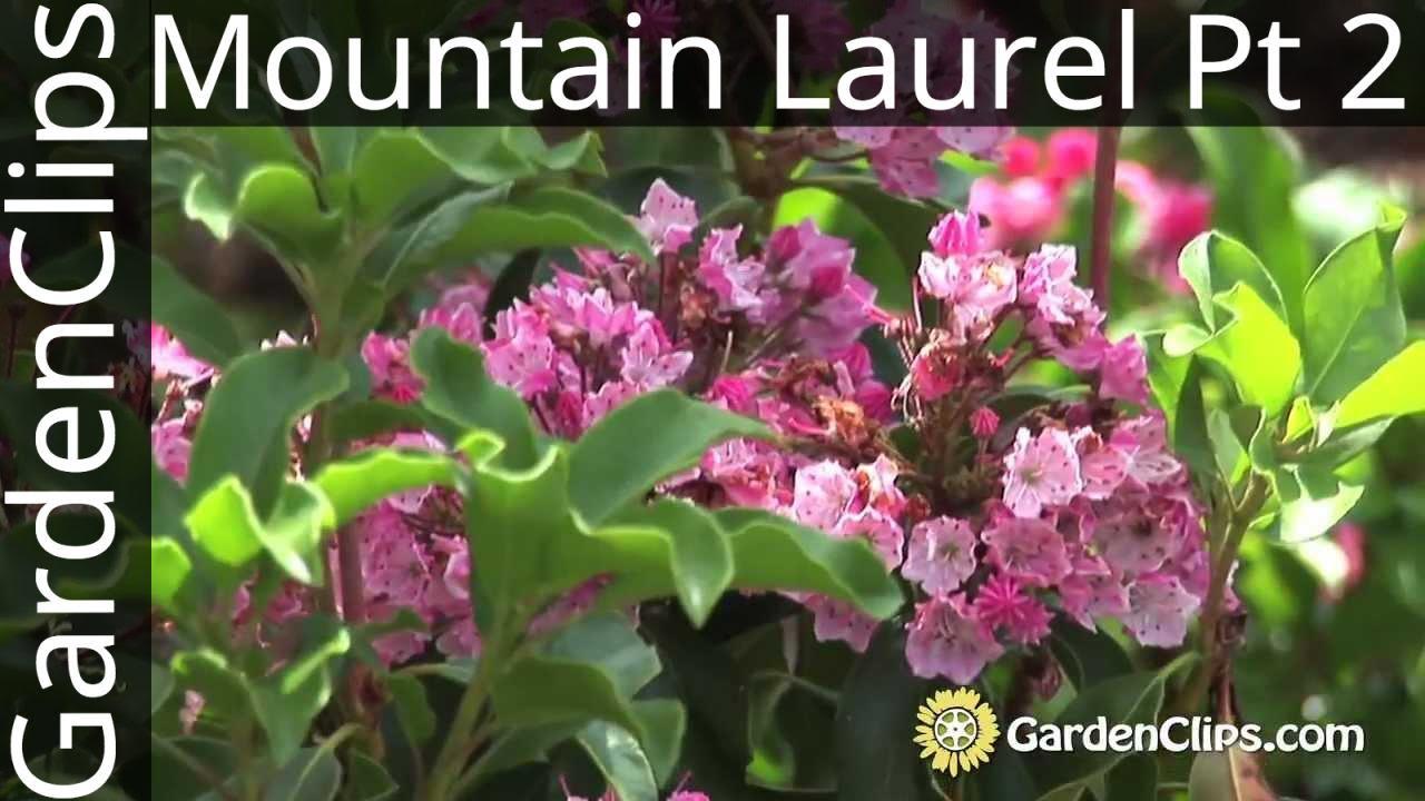 Mountain Laurel Kalmia Latifolia With Jaynes Part 2 Of 3