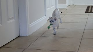 Snow Bengal Kittens  Kittens who Fetch