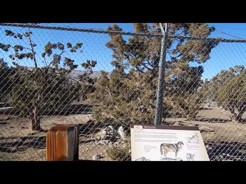 Wolf pack howling at Animal Ark Wildlife Sanctuary 11-29-13