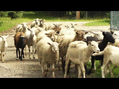 Urban Edmonton sheep farmer faces hefty fine, despite having flock for 20 years