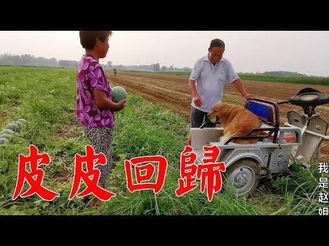 婆婆帶狗狗買100斤西瓜,正要裝車,毛孩子的行為,讓公公哭笑不得【我是趙姐】