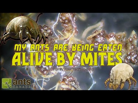 Thumbnail: HELP! My Ants Are Being Eaten Alive By Mites! | A New Year's Special