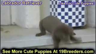 Labrador Retriever, Puppies, For, Sale, In, Aurora, Illinois, Il, Moline, Belleville, Lombard, Dekal