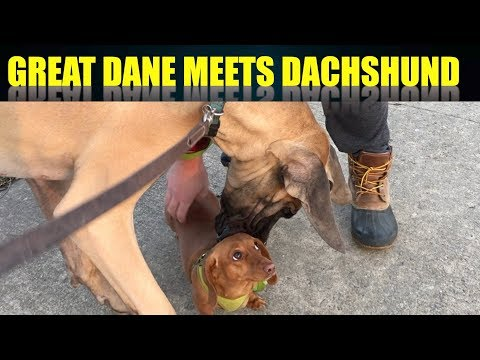 GREAT DANE MEETS DACHSCHUND