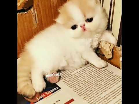 Kitten Persia Peaknose Female Cream Van Youtube