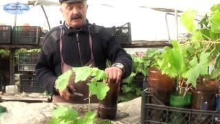 видео Саженцы винограда