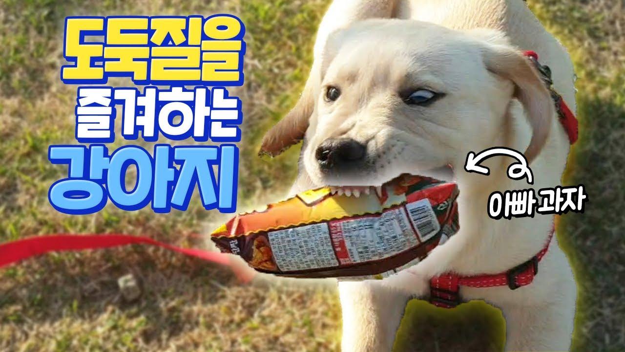 도둑질을 즐겨하는 강아지의 산책방식