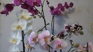 орхидея Phalaenopsis: уход после покупки(Как ухаживать за орхидеей после покупки (карантин, полив, пересадка, борьба с вредителями). Делюсь личным..., 2014-11-26T10:27:43.000Z)