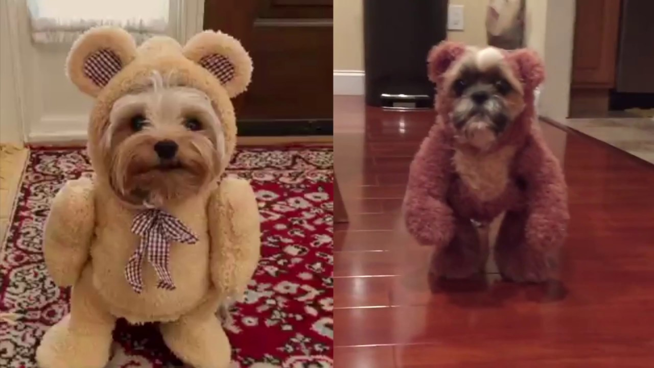 Dogs dressed in teddy bear costumes. Need we say more ...