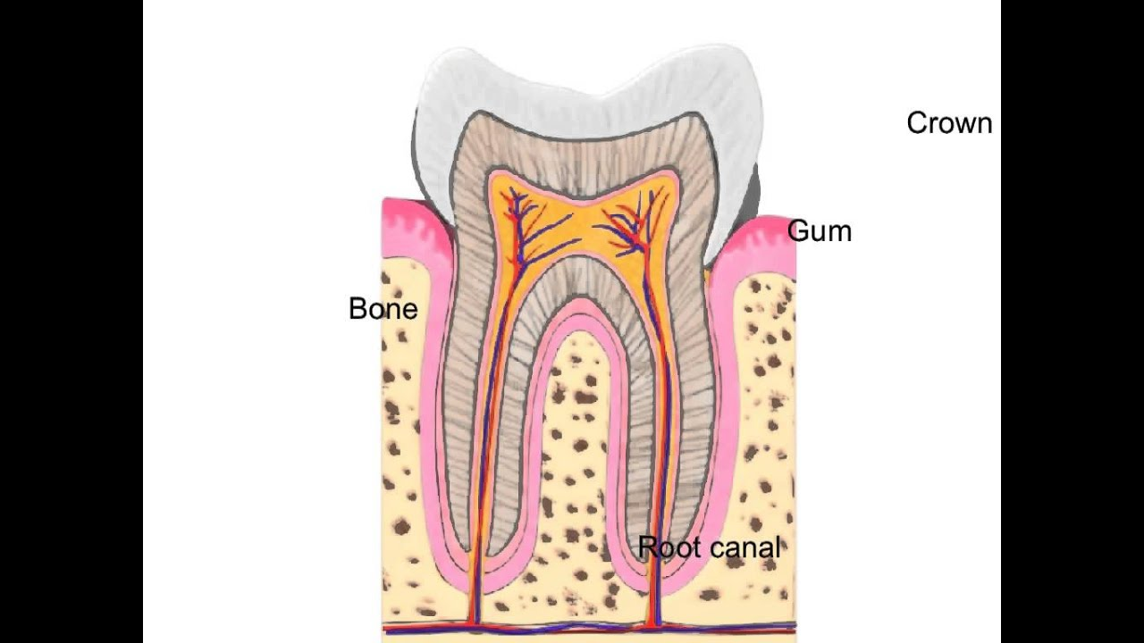 Demonstrating The Structure Of The Tooth