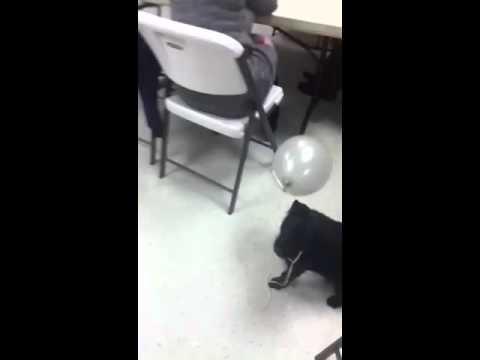 Funny jumping dog loves balloons
