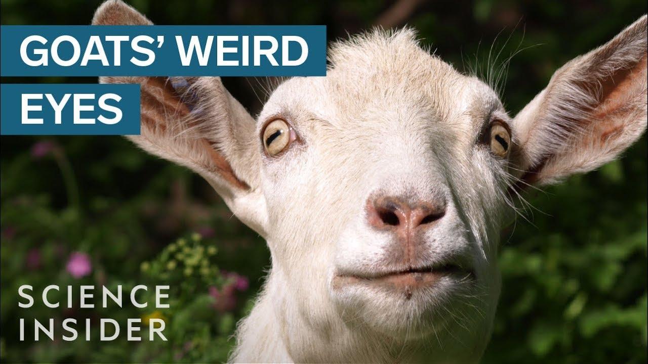 Why Goats Have Strange Eyes