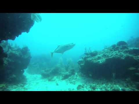 Yellowtail with Dolphin Dive... Little Corn Island, Nicaragua