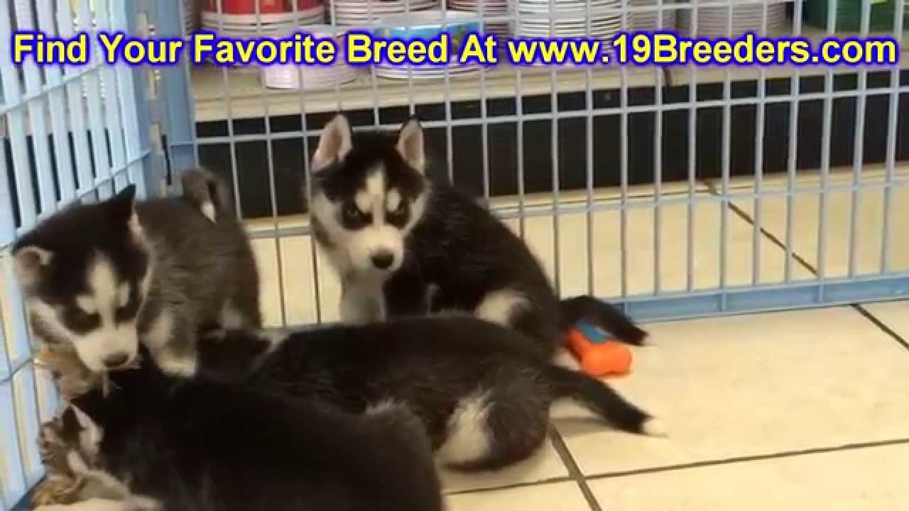Siberian Husky Puppies For Sale In Knoxville Tn