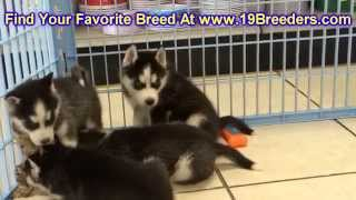 Siberian Husky, Puppies For Sale, In, Nashville, Tennessee, Tn, County, 19breeders, Knoxville, Smith