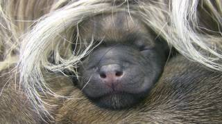 Cairn Terrier's 2 Hours Old Puppies (in HD)