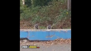 WILLY WONKA Raccoons LIVE! behind WALL