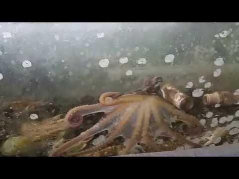 Friends of NELHA Ocean Conservation Tour  at Kanaloa Octopus Farm (Kona, Hawaii)