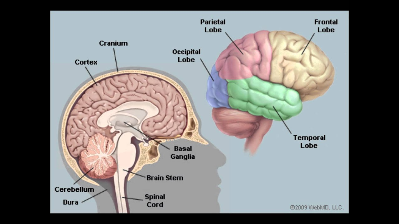 Ap psych brain song youtube ap psych brain song ccuart Choice Image