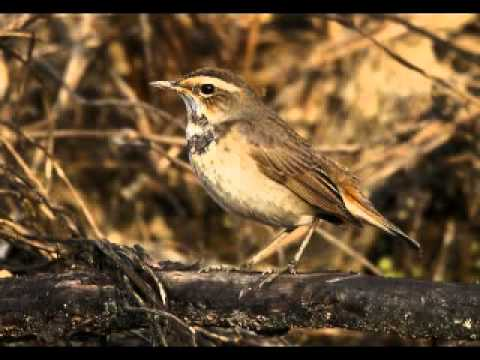 Siêu chim Họa mi hót trong thiên nhiên.mp4