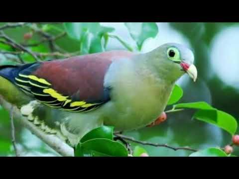 Tiếng Chim Cu Xanh Gáy , Tiếng Chuẩn Miễn Phí Phiên Bản Thái Lan 2018