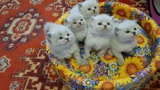 Сибирские Невские Маскарадные котята