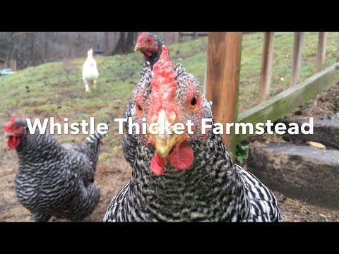 Want to grow food for your chickens? Plant this and feed all winter!