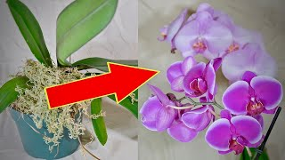 How to make your orchid bloom  again: Lock it up!