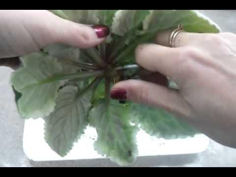 Сенполия (Фиалка) - сорта, особенности ухода, размножение