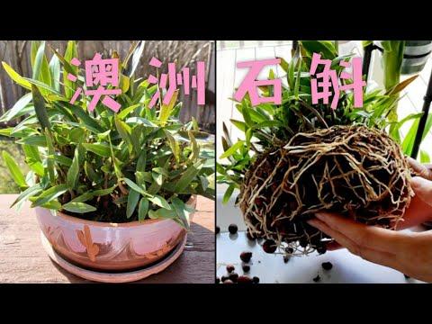 種了一年半的澳洲石斛現在長什么樣了 Dendrobium kingianum - YouTube