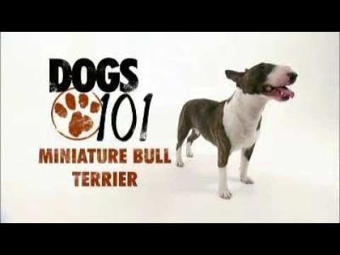Dogs 101 Miniature Bull Terrier - 720p - Full Clip - High Quality