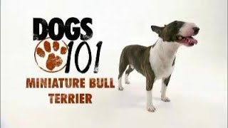 Dogs 101 Miniature Bull Terrier  720p  Full Clip  High Quality