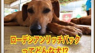 ペットで犬を飼おうと迷っている方へ〜ローデシアンリッジバック〜 世の...
